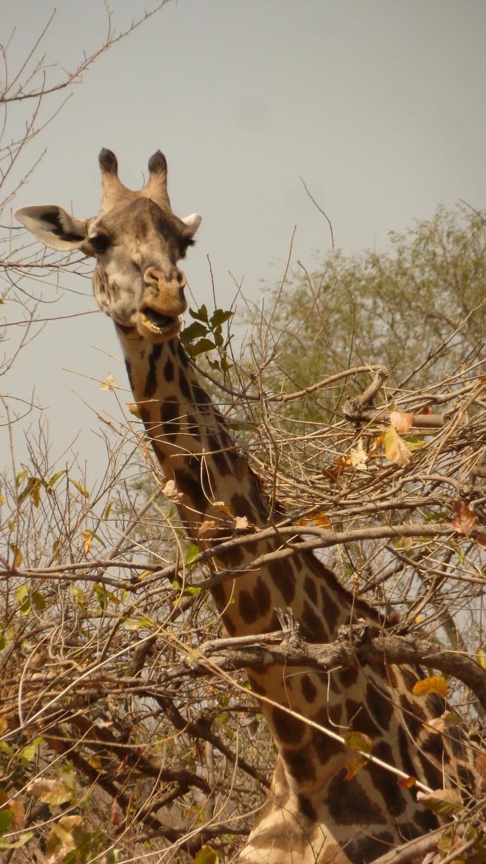 'Avin a giraffe?