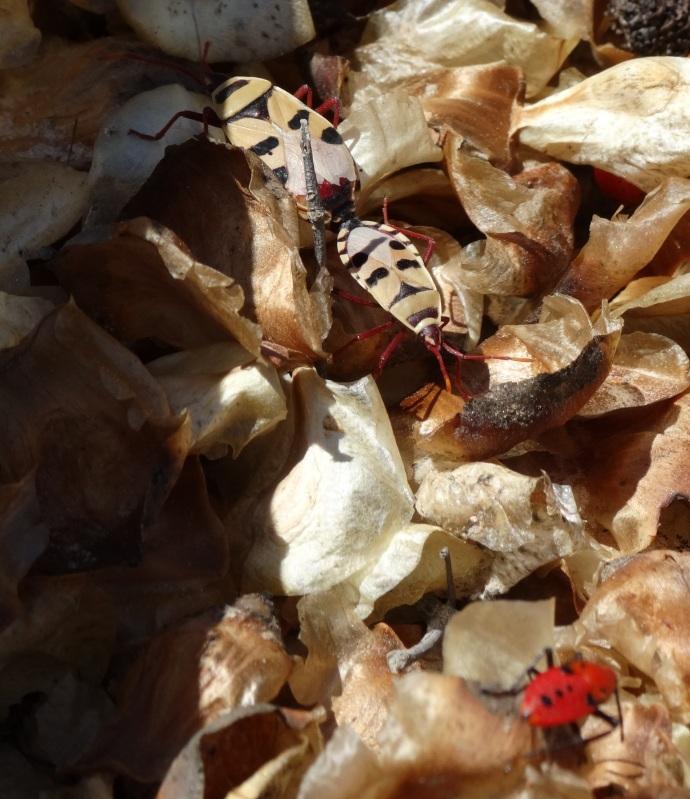 Welwitschia Bugs