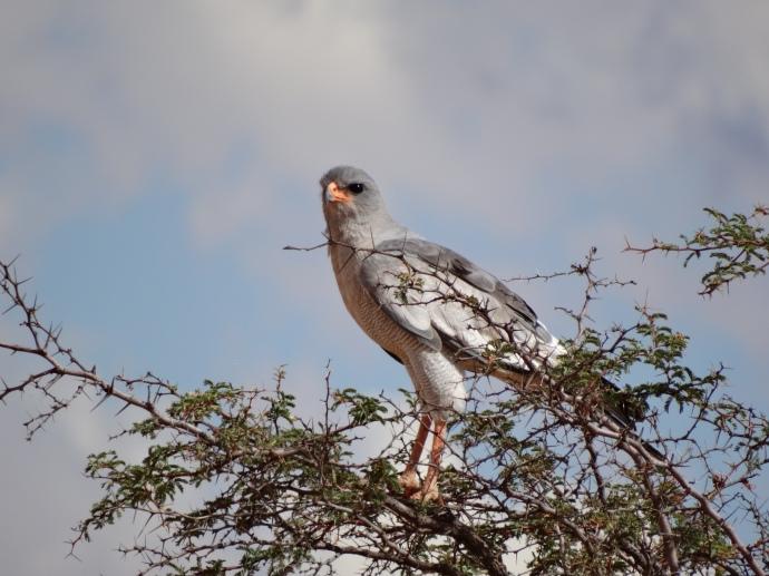 Southern Pale Chanting Goshawk